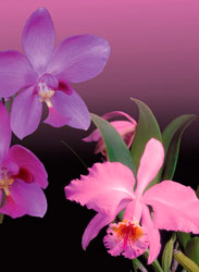 Orchids, Magic Spell