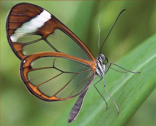 The Clearwing Butterfly