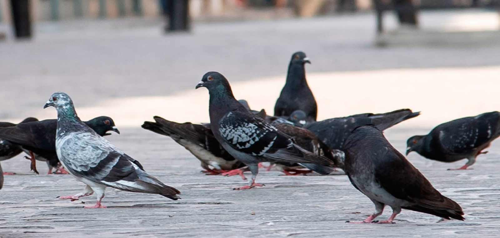 Pigeons, birds of great intelligence