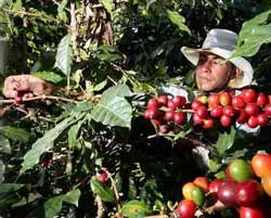 Cuba can be self-sufficient in coffee
