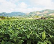 Tobacco Growers Committed to Layers for Exportable Habanos in Cuba
